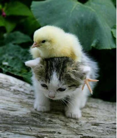 The Kitten and the Baby Chick